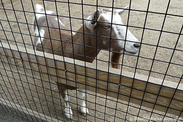 Cape May County Zoo goat