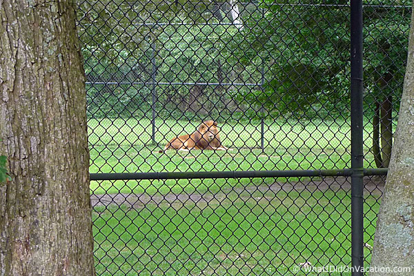 Cape May County Zoo lion