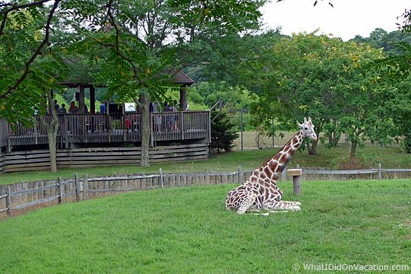 Cape May County Zoo giraffe