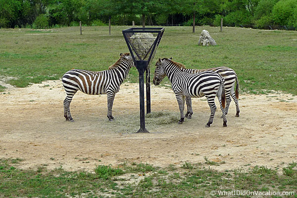 Cape May County Zoo zebras
